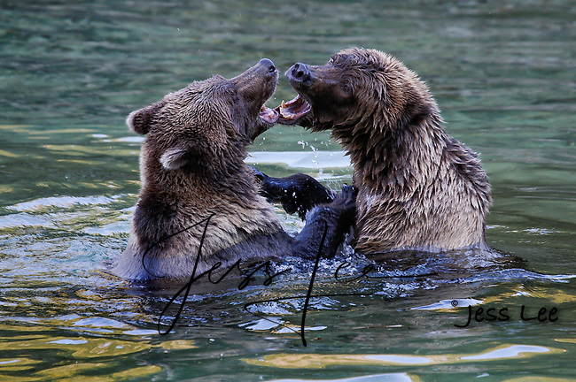 A photo of two coastal brown bears, grizzlies, playing in a pool of water. Grizzly Bear or brown bear alaska Alaska Brown bears also known as Costal Grizzlies or grizzly bears