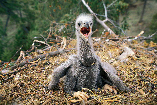 Young bald eagle chick (under two weeks of age).