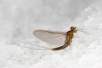 Eintagsfliege, Baetis rhodani, Large Dark Olive Mayfly