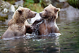 USA, Alaska, two grizzly bears wrestling, Wolverine Cove, Redoubt Bay
