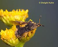 AM11-501z  Ambush Bug, flying from flower, Phymata americana