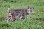 USA, California, Point Reyes National Seashore, bobcat (Lynx rufus)