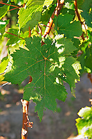Cabernet Franc leaf planted at the entrance - Chateau Grand Mayne, Saint Emilion, Bordeaux