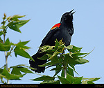 Red-winged Blackbird, Male Calling for a Mate, Sepulveda Wildlife Refuge, Southern California