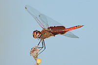 388550015 a wild male red saddlebags tramea onusta perches on a tree limb in southeast regional park travis county texas