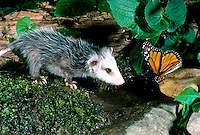 Baby possum meets monarch butterfly drunking from  a watering hole and is surprised and interested