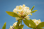 Harkness Memorial State Park. White rhododendron against sky.