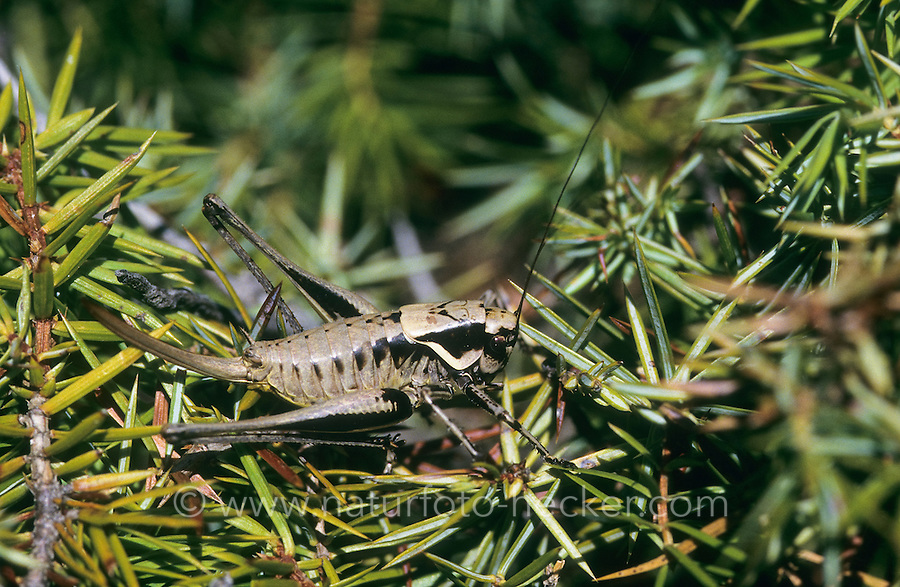 Südliche Strauchschrecke, Weibchen, Pholidoptera fallax, Thamnotrizon fallax, Fischer's Bush-cricket, female