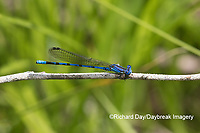 06084-00105 Springwater Dancer (Argia plana) in fen Washington Co. MO