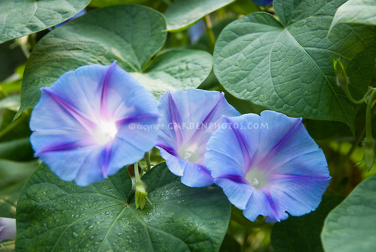 Ipomoea Blue Star vine, Annual Morning Glory, in blue and purple star colors, three blooms together,