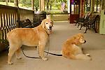 Golden retrievers on porch.