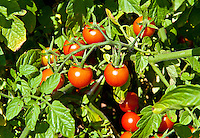 Ripe cherry tomatoes on the vine.
