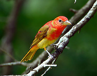 Immature male summer tanager