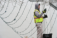 NWA Democrat-Gazette/J.T. WAMPLER Scott Henderson of Fayetteville works Monday Jan. 8, 2018 taking down strands of lights from the Lights of the Ozarks display in downtown Fayetteville. The Fayetteville Parks Department employees started taking the lights down last week and will continue until the nearly 500,000 lights are down.Monday Jan. 8, 2018.