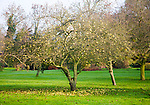 Fallen apples beneath apple tree in winter, Suffolk, England