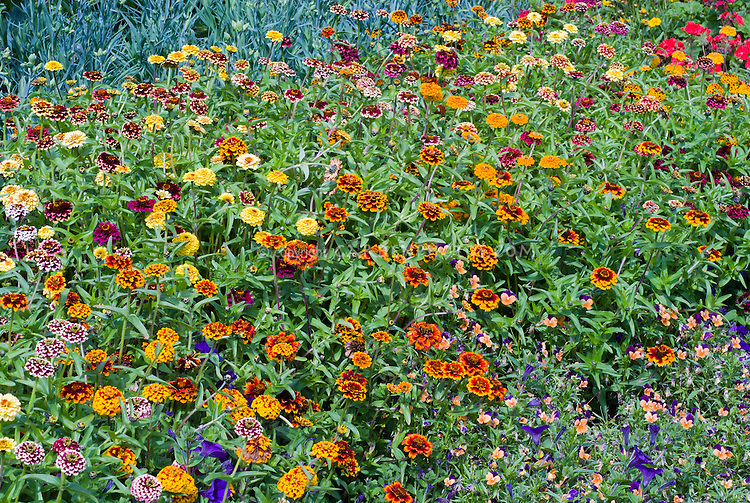 Zinnia 'Aztec Sunset' mixture