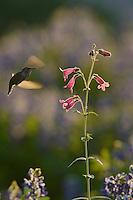 Black-chinned Hummingbird (Archilochus alexandri), adult female feeding on blooming Hill Country penstemon, Scarlet penstemon (Penstemon triflorus), Hill Country, Texas, USA