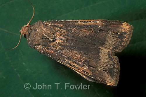 Black cutworm moth Agrotis ipsilon