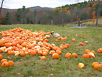 Sheep in a Field of Pumpkins, New Hampshire