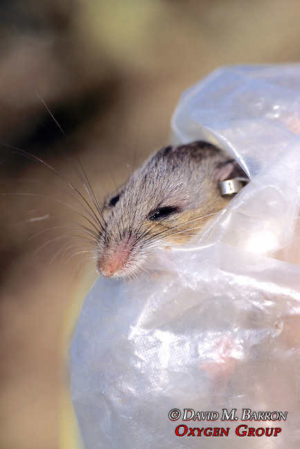 Deer Mouse With Ear Tag