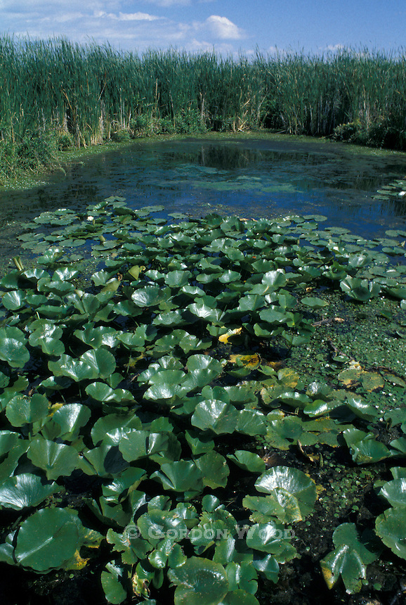 Water Lillies and Grasses in Point Pelee National Park