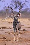 Kudu (Tragelaphus strepsiceros) at water hole. .