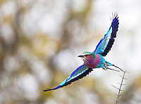 A Lilac-breasted roller takes off.