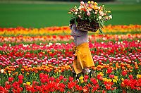 A worker carries cut tulips in a colorful tulip field. Oregon.