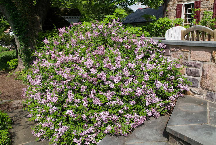Syringa meyeri Palibin Meyer Lilac next to house stone wall, steps, patio, foundation plant shrub