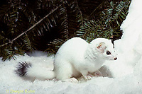MA06-126x  Short-Tailed Weasel - exploring forest for prey in winter, camouflagued - Mustela erminea