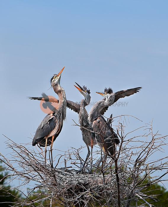 Three Great Blue Heron chicks in nest