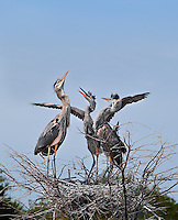 Three Great Blue Heron chicks in nest