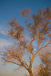 Waxing moon rising over Pinto Basin, smoke tree...(Dalea spinosa)