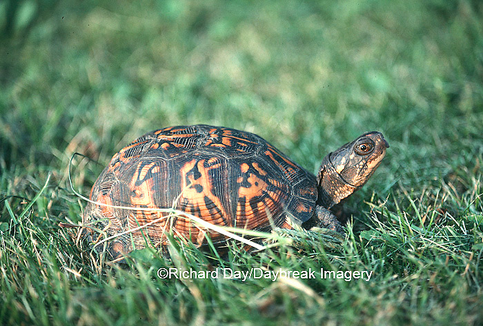 02538-001.16 Common Box Turtle (Terrapene carolina)    IL