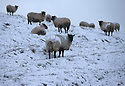 14/01/16<br /> <br /> Sheep sit out the cold in Sparrowpit near Buxton in the Derbyshire Peak District near Buxton.<br /> <br /> All Rights Reserved: F Stop Press Ltd. +44(0)1335 418365   +44 (0)7765 242650 www.fstoppress.com