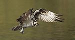Osprey.Pandion haliaetus.at the Sepulveda Wildlife Area.Los Angeles, Ca. November 6, 2007. Fitzroy Barrett