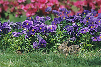 Eastern Cottontail Rabbits, juveniles, resting in a flower garden, Mount Laurel, New Jersey