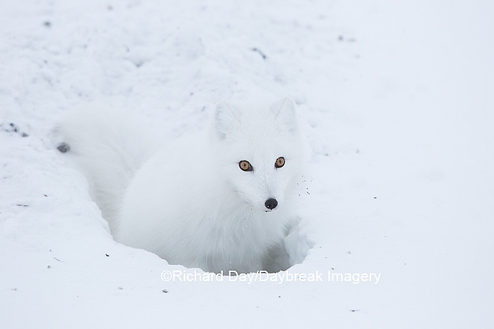 01863-01709 Arctic Fox (Alopex lagopus) at food cache, Cape Churchill, Wapusk National Park, Churchill, MB Canada