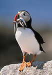 Atlantic puffin with a successful catch, Maine, USA