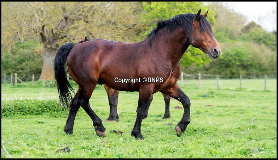BNPS.co.uk (01202 558833)<br /> Pic: Phil Yeomans/BNPS<br /> <br /> Cholderton Icarus - the magnificent stallion on which the sculpture has been based - Britains most threatened breed of horse to be immortalised in bronze.<br /> <br /> A beautiful stallion of Britain's rarest breed of horse is being immortalised in sculpture to honour their tremendous sacrifice as the war horses of the Great War.<br /> <br /> Sculptor Amy Goodman studied Icarus, a Cleveland Bay stallion, bred at the Cholderton Stud in Wiltshire to create the spectacular 10ft tall statue of the muscular horse rearing up. <br /> <br /> Described as 'Critically Endagered' by the RBST, Cholderton is the oldest stud still breeding these beautiful horses in Britain.<br /> <br /> She has used scaffolding poles, welded steel and mesh wire to make the shape of the rearing horse before covering the frame in 700kg of clay.