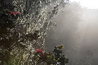 Ohia lehua in morning mist