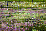 Eastern Purple Bladderwort and white water lilies at Beaver Dam Pond in Acadia National Park, Maine, USA