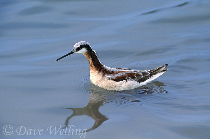 570980002 a wild female wilsons phalarope phalaropus tricolor in breeding plumage swims in a small pond in tamaulipas state in mexico