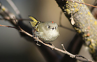 Kinglet - Ruby-Crowned