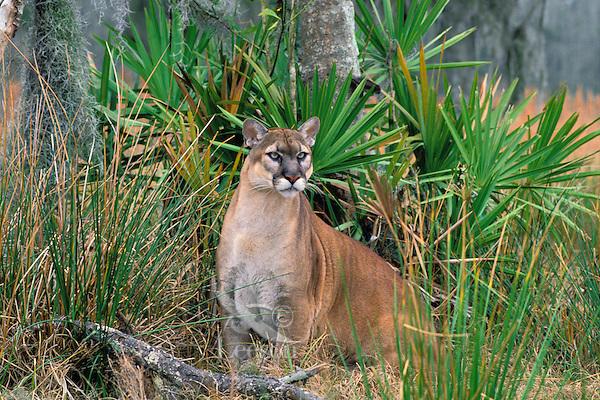 MR294  Florida Panther among palmetto plants.  Florida.