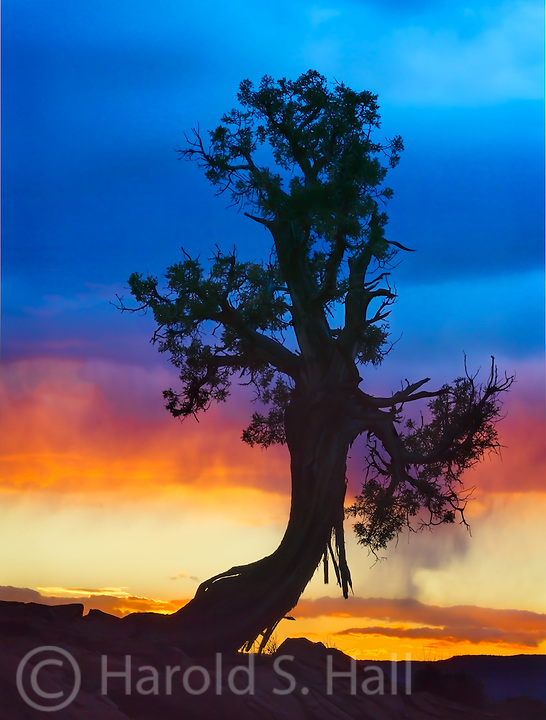 A juniper stands against a red and yellow sunset in Capitol Reef National Park.