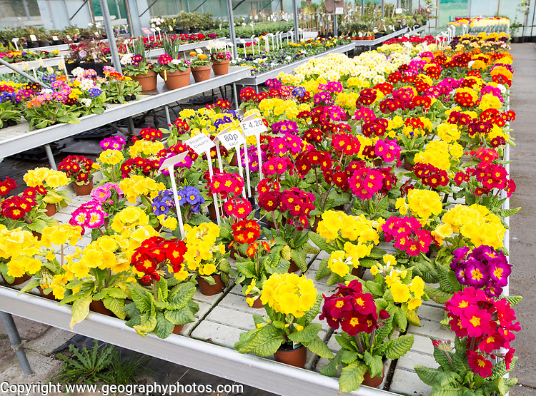 Display of bright polyanthus plants Ladybird Nurseries garden centre, Gromford, Suffolk, England, UK - Polyanthus Crescendo