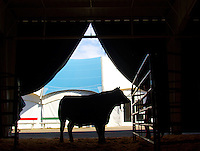 A steer waits it's turn to be shown at the Northwest Junior Livestock Show at the Washington State Spring Fair in Puyallup, Washington on April 16-17, 2015