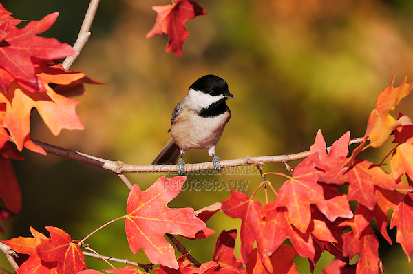 Carolina Chickadee (Poecile carolinensis),  adult on autumn leaves of Bigtooth Maple (Acer grandidentatum), Hill Country, Central Texas, USA