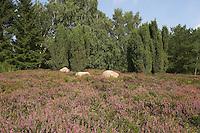 Heidefläche, Heide, Heidegebiet mit Besenheide, Heidekraut, Calluna vulgaris, Ling, Scots Heather, Callune, Bruyère commune und Wacholder, Juniperus communis, Juniper, Genévrier, heath, moorland, ling